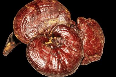 ganoderma lucidum reishi dxn
